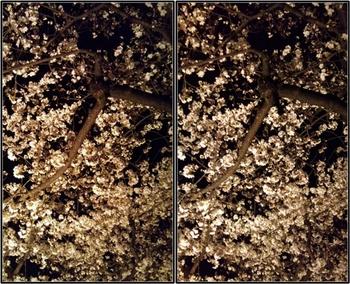 お寺の桜.jpg