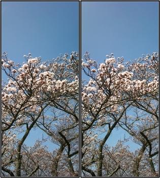 篠山の桜.jpg